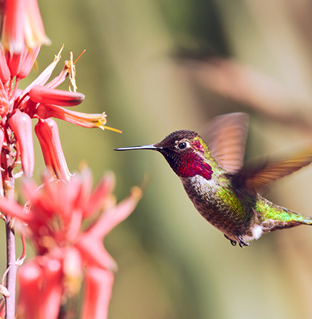 Use macro photography to capture a hummingbird hovering by a red flower