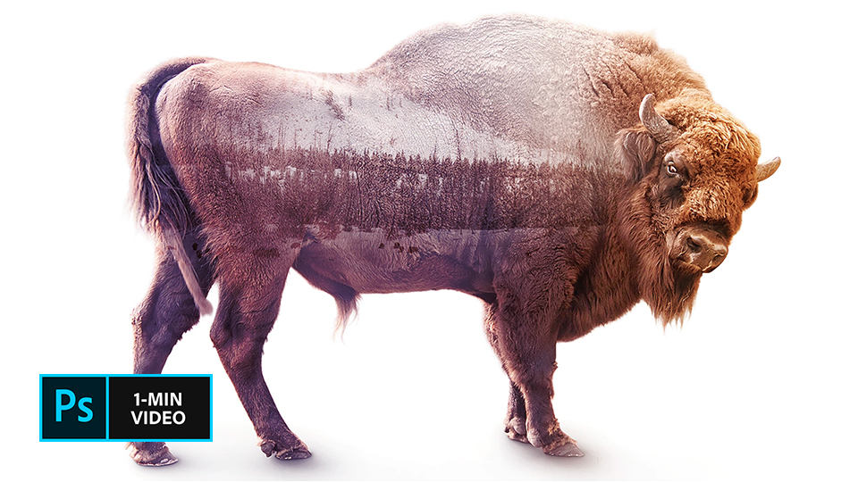 Photo composite of a bison against a white background and a snow scene blended in with its body