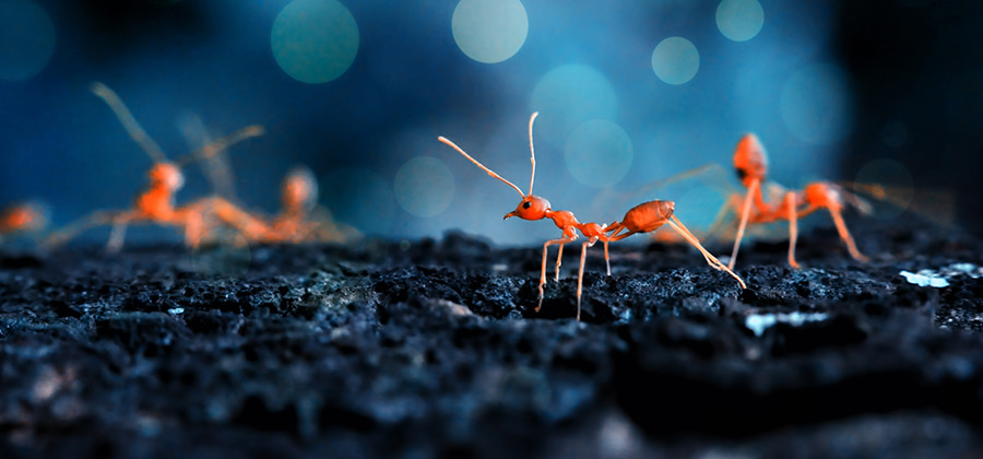 Fire ants on the prowl captured in a macro photograph
