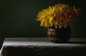 Still-life image of blooming yellow daffodils in low light